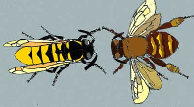 Wasp Vs Bee Size Wasps may or may not have aHornet Vs Wasp Size