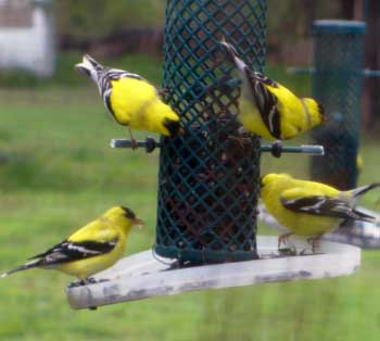 Grey Duck Garlic, bird feeders attract yellow finches