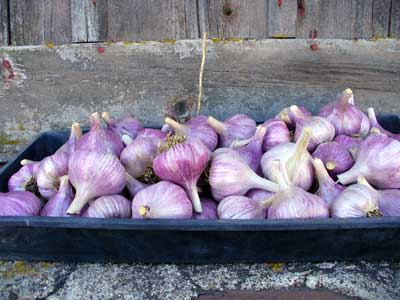 Grey Duck Garlic, a tray of Chesnok Red garlic bulbs