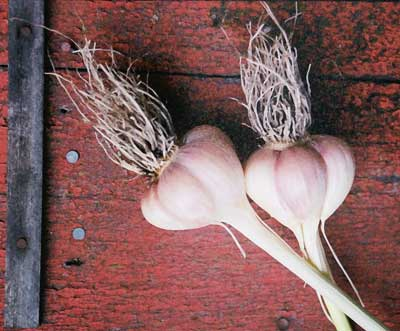 Grey Duck Garlic, garlic bulbs showing cloves