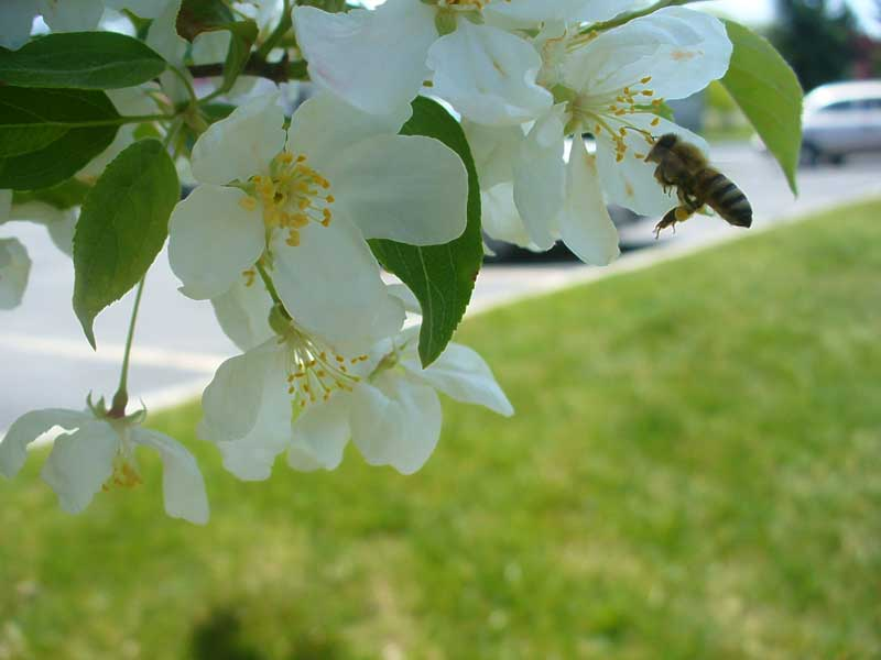 Grey Duck Garlic: honeybee landing on crabapple  flower