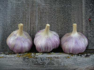 Grey duck Garlic, Red Rezan bulbs by the barn