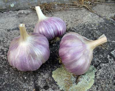 Adding Garlic to Grains Increases Iron and Zinc Absorption