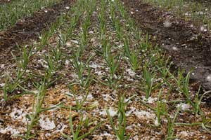 Snow on garlic