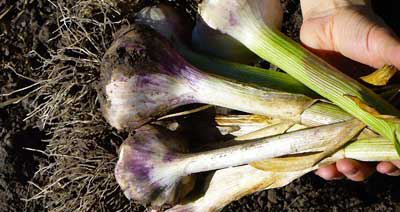 Grey Duck Garlic, Thermadrone softneck garlic bulbs just after harvest