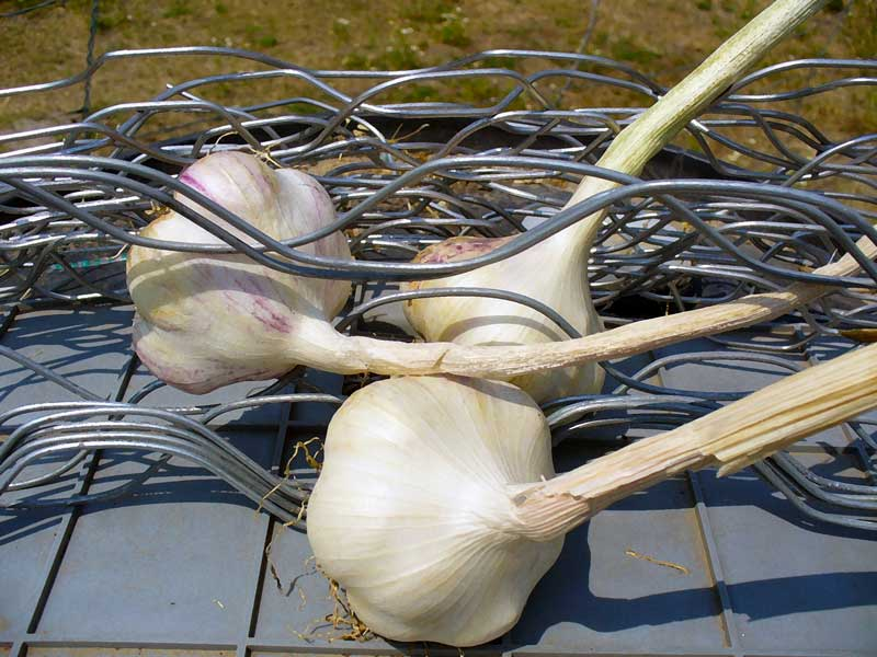 Grey Duck Garlic: Garlic on wire