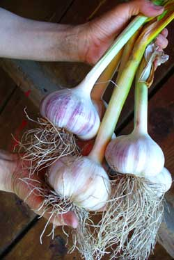 Grey Duck Garlic, a handful of organic garlic