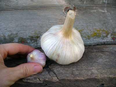 Grey Duck Garlic How To Grow A Tiny Bulb